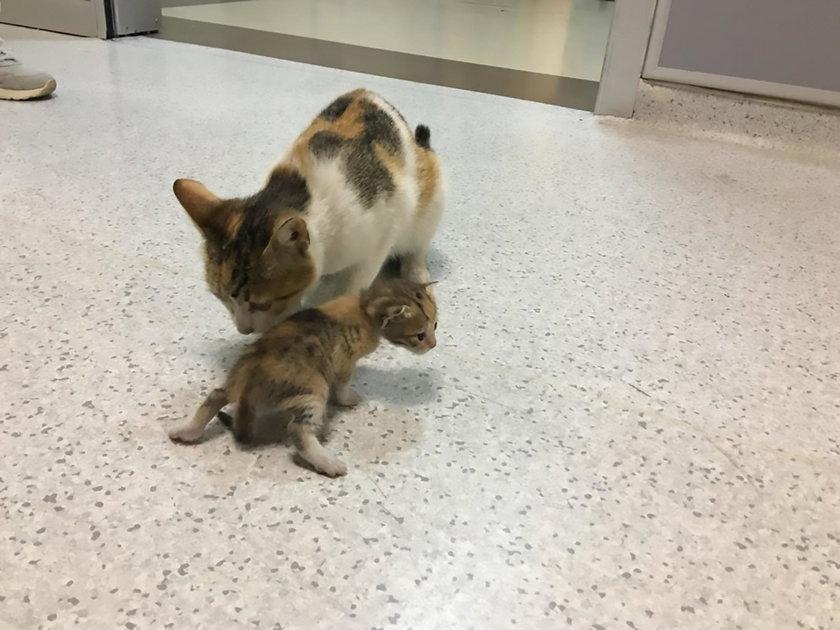 Bohaterska kocia mama! Tak ratowała swoje dziecko