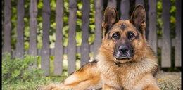 Pies uratował życie strażnika miejskiego