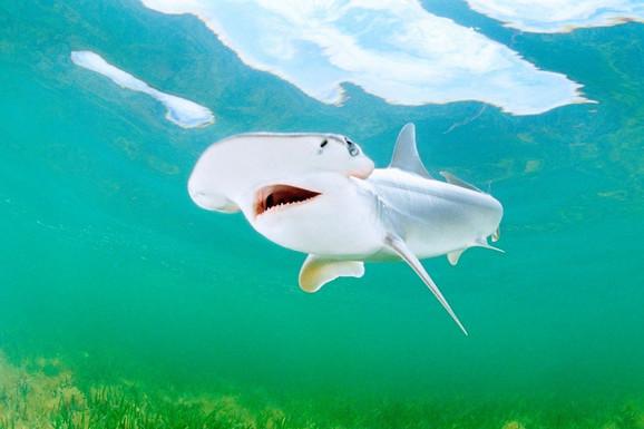 Bolje vari biljke nego meso - ajkula Sphyrna tiburo