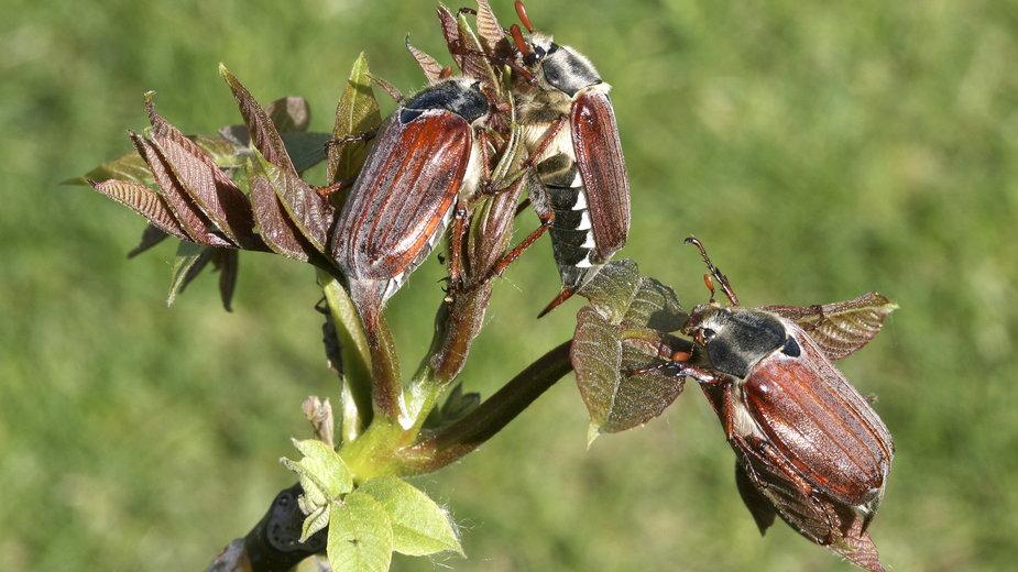 Chrząszcz majowy może spowodować znaczne straty w uprawach  i na trawniku