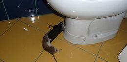 Sprytne szczury wlazły na 4. piętro
