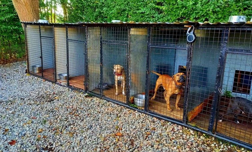 Policjantom udało się zabezpieczyć 11 psów rasy amstaff.