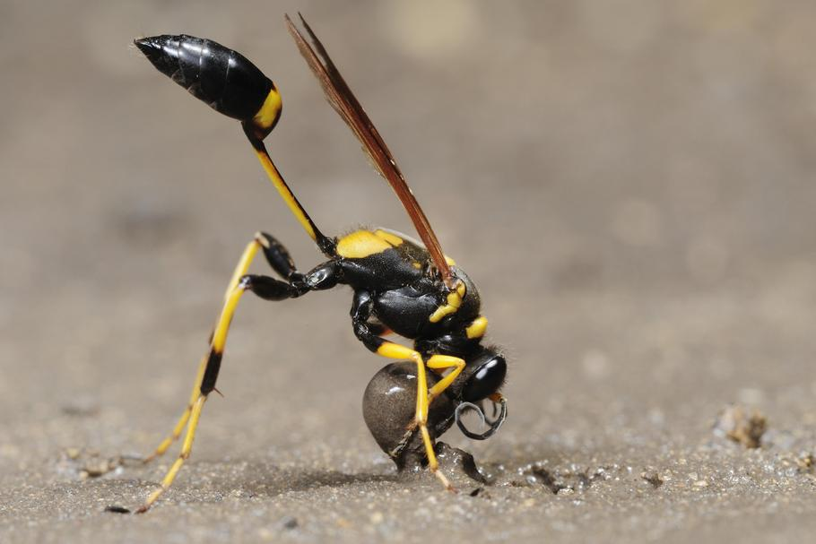 Black and yellow Mud Dauber (Sceliphron caementarium), female collecting mud for nest, Comal County,
