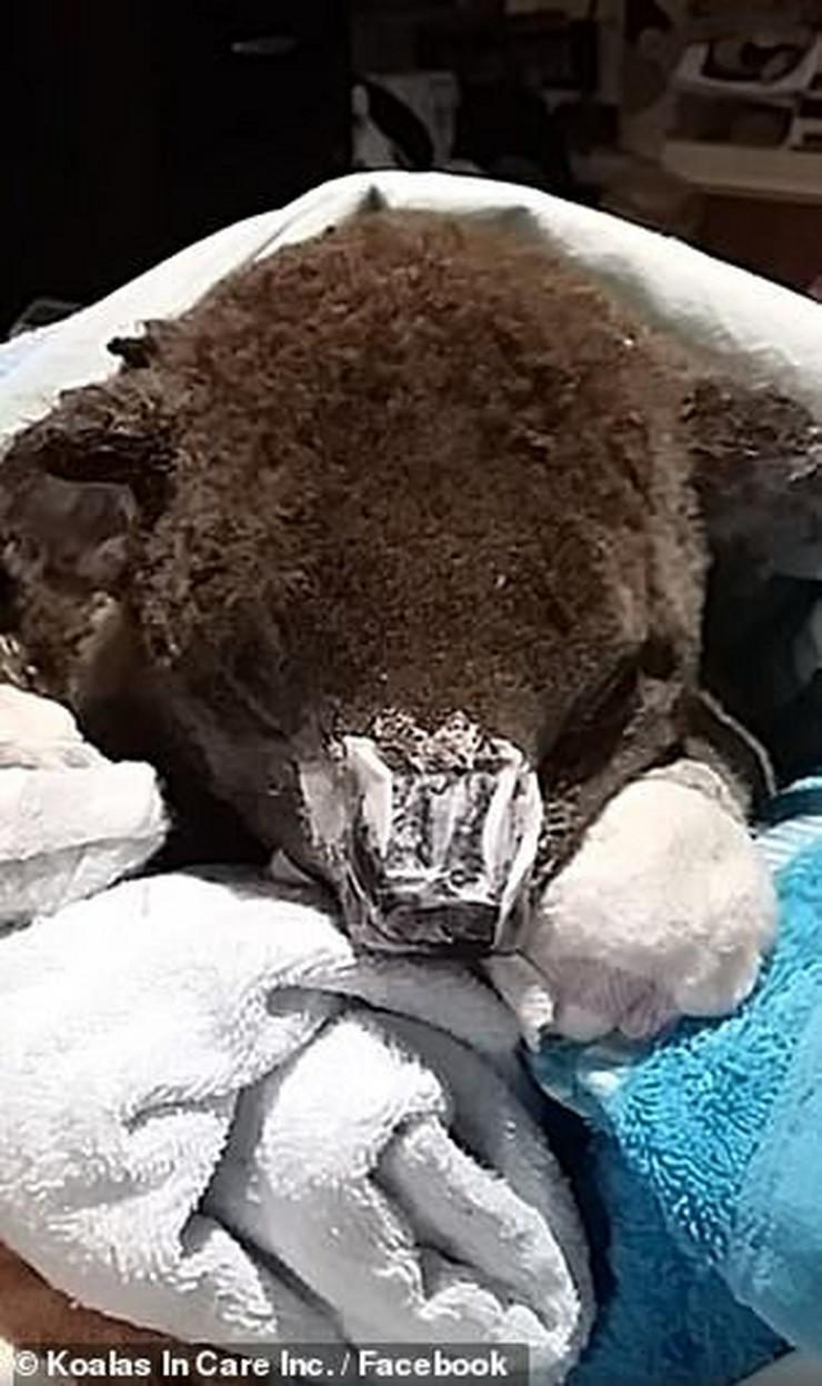 Koalas in Care02