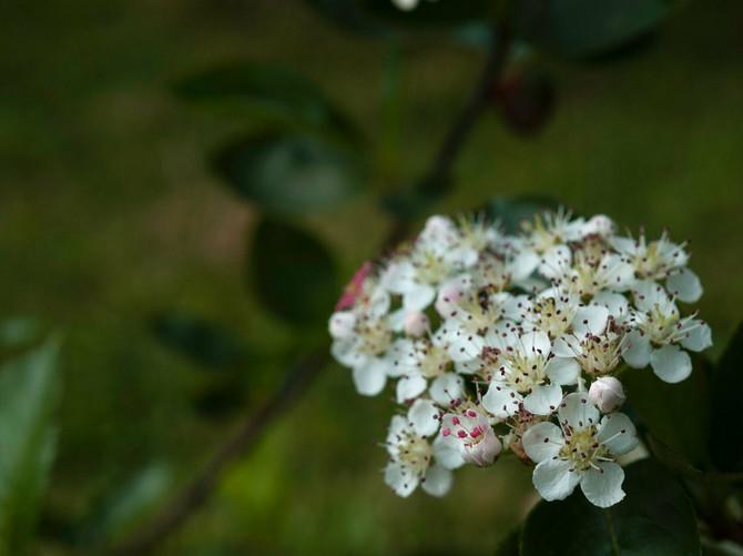 Cvet maline možete da stavite i na mesto gde vas ujede insekat, sprečiće svrab i oticanje