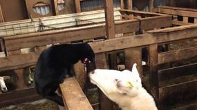 Owca zemściła się na kocie. Wideo jest hitem internetu!