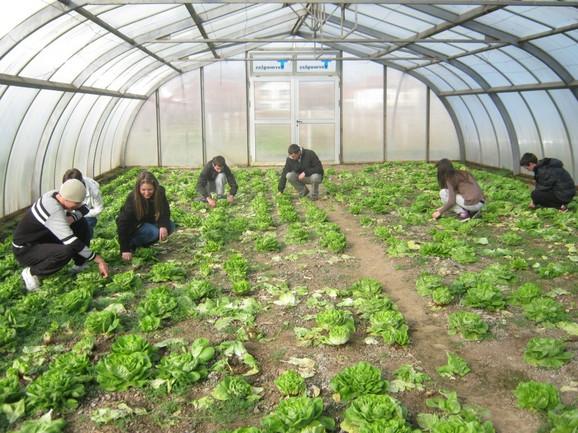 Zelena salata u plasteniku