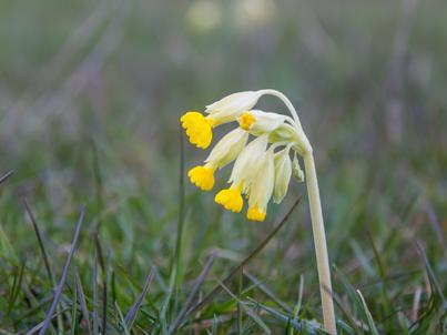 Pierwiosnki zakwitają wczesną wiosną w krajach o klimacie umiarkowanym. Zwiastują nadejście pięknych i ciepłych dni