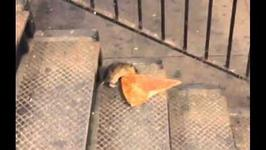 Szczur miał ogromny apetyt na pizzę. To, co zrobił rozbawi Cię do łez!