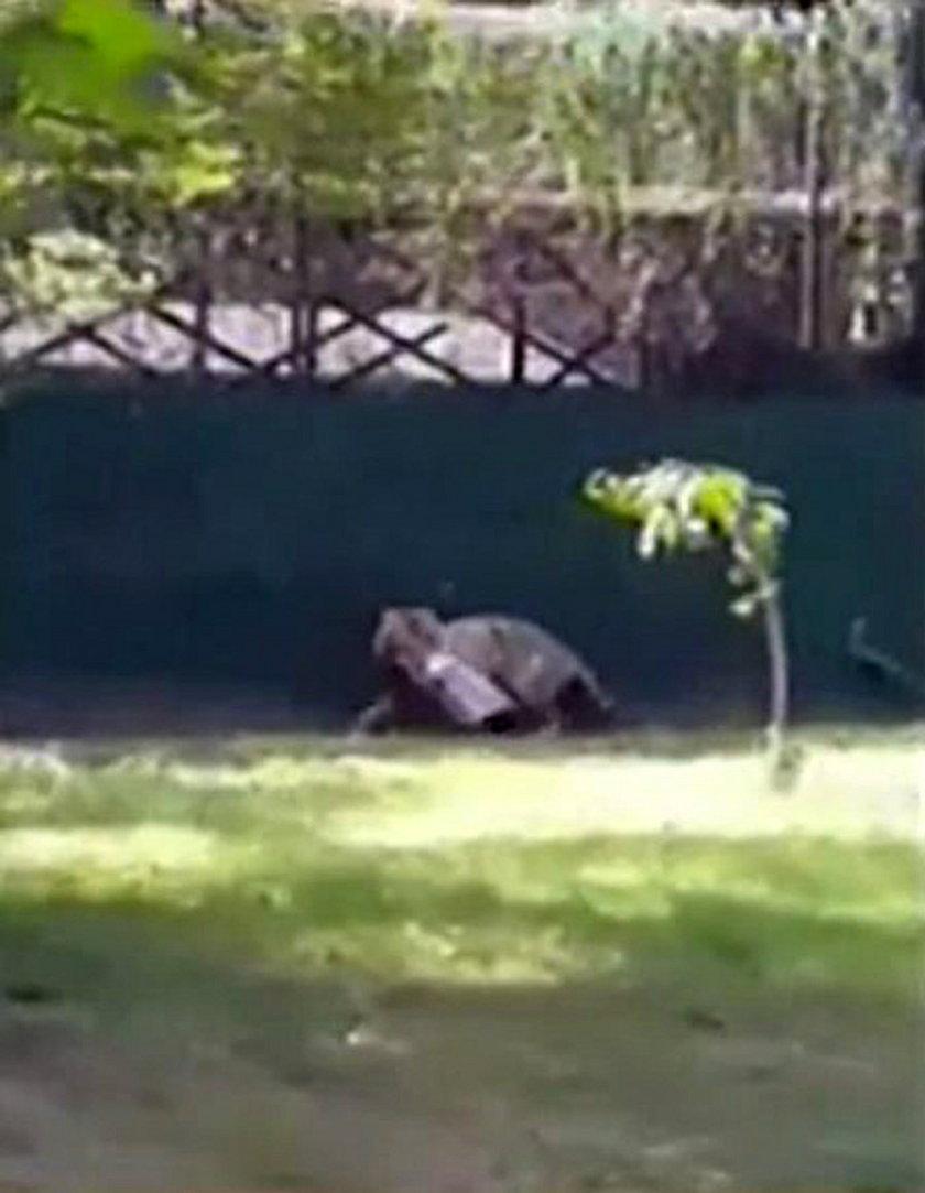 Tygrys rzucił się na 22-latka w zoo