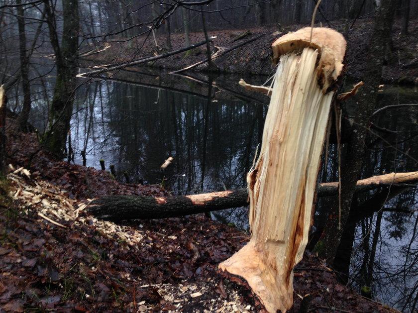 Bobry uwielbiają korę drzew i młode cienkie gałązki. W tym celu potrafią ściąć zdrowe drzewo.