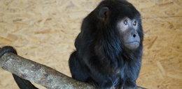 Smutny koniec małpy, która uciekła z Doliny Charlotty