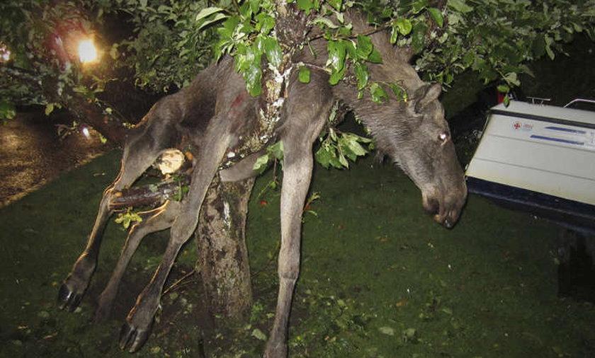 Pijany łoś utknął na drzewie