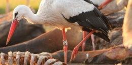Wielkopolski bocian na wyżerce w RPA