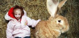 To dziecko jest mniejsze od królika