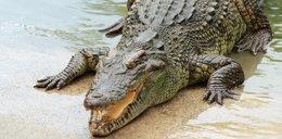 Krokodyl Mireczek się znalazł! Nie zgadniecie, gdzie był