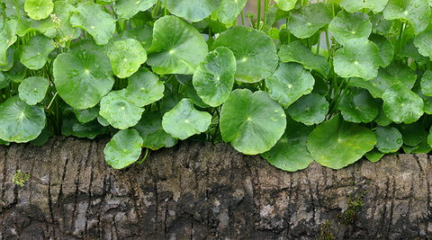bitter-kola-plant