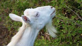 Portugalia będzie hodować kozy, aby zapobiegać pożarom