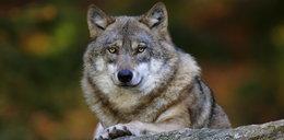 Uwaga wilki - ostrzegają przydrożne tablice