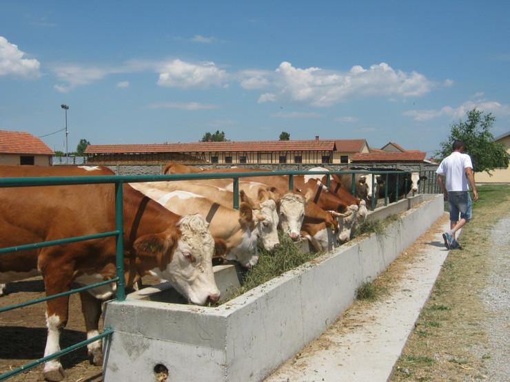 Farma krava_foto Predrag Vujanac