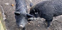 Oskarżono świnie z Osiek o zjedzenie rolnika. Nie wszyscy wierzą w ich winę