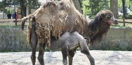 Skandal w zoo. Była w ciąży z innym!