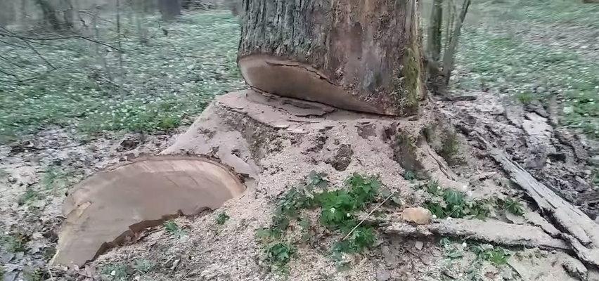 W każdej chwili mogło dojść do tragedii. Ktoś podciął potężne drzewo niedaleko leśnej ścieżki