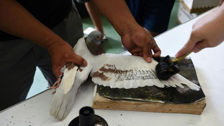 The MacArthur competition is the Philippines' longest homing pigeon race