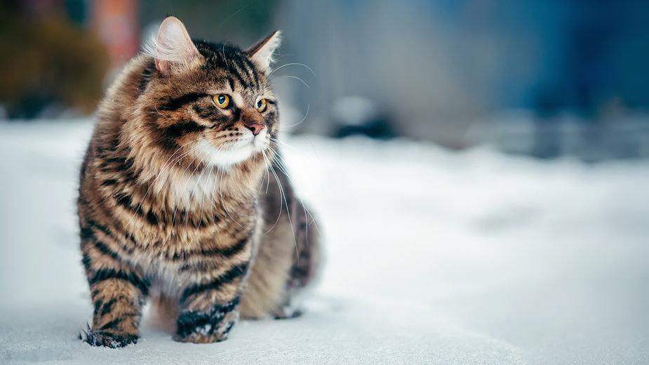 Koty syberyjskie mają nieco dziki charakter - stock.adobe.com
