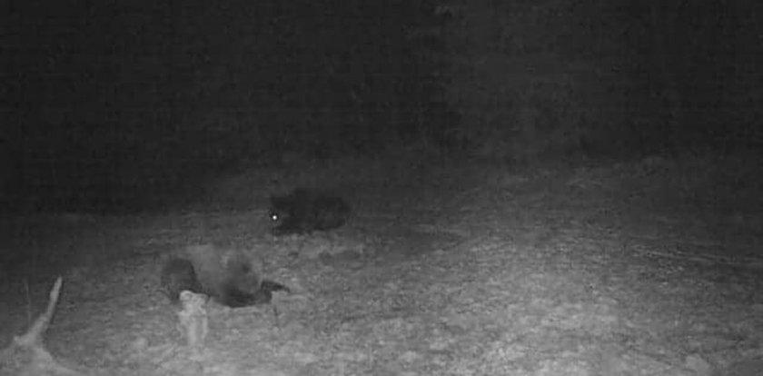 Niedźwiedzie nie zapadły w sen zimowy. Szaleją w lesie