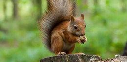 Pomóż wiewiórkom przetrwać zimę
