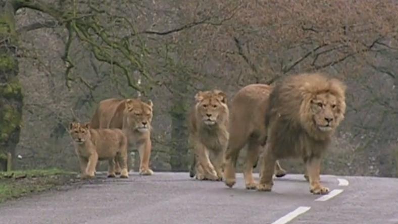 Kenia: trzech pasterzy aresztowano w związku z otruciem słynnych lwów