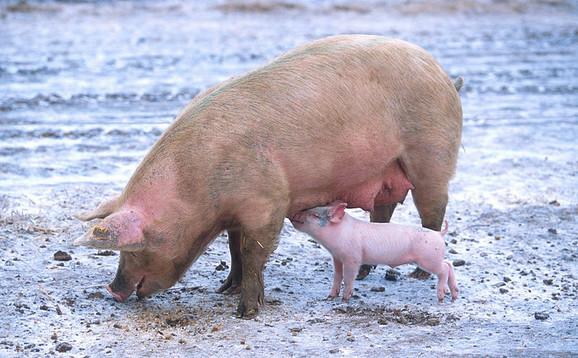 Testiranja pokazala prisutnost MRSA u svinjskom mesu