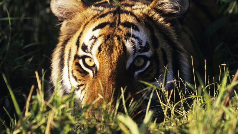 Ziemia tygrysów