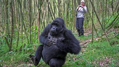 Rwanda now moves to curb the spread of coronavirus pandemic among its must-see Gorillas after going on a 30 day lock down