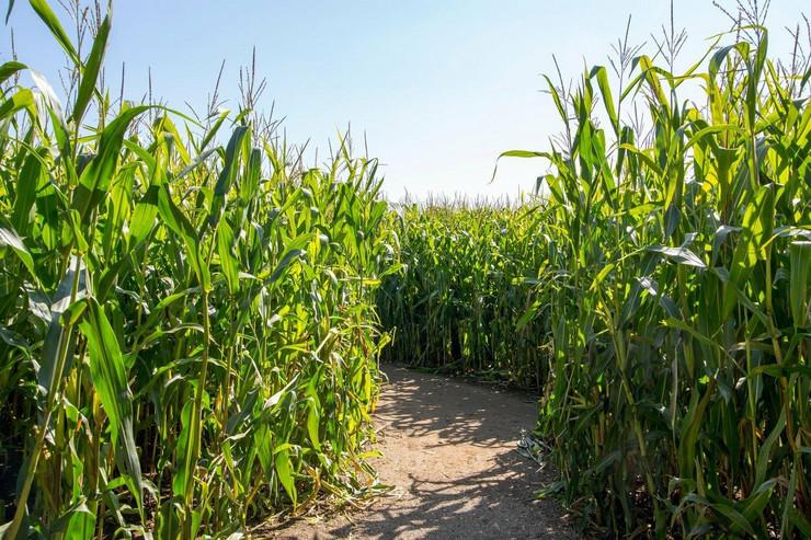 kukuruzište