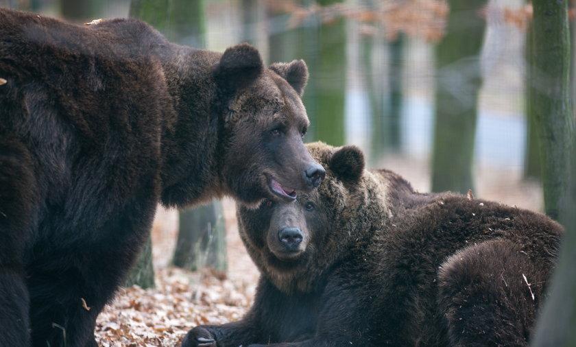 Niedźwiedzie w zoo