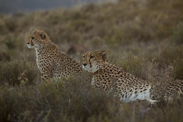 """""""Cudowny gepard"""": kadr z programu"""