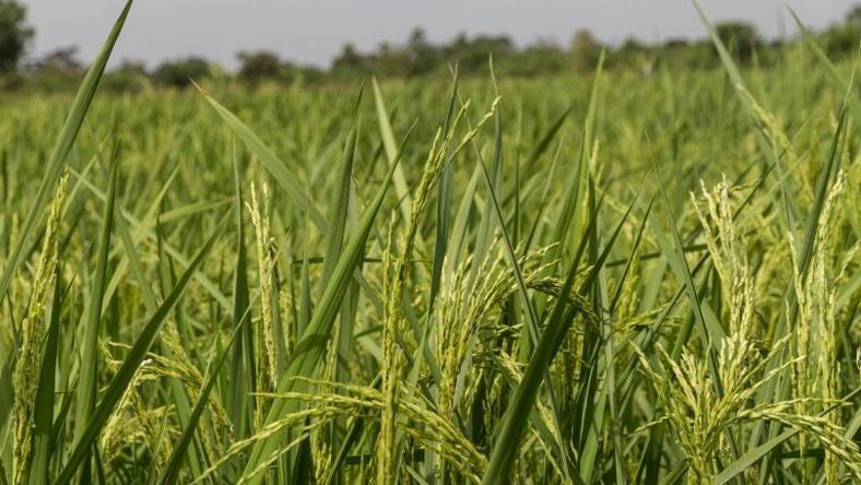 Rice growers in Ouinhi, south-eastern Benin, have benefitted from new irrigation system