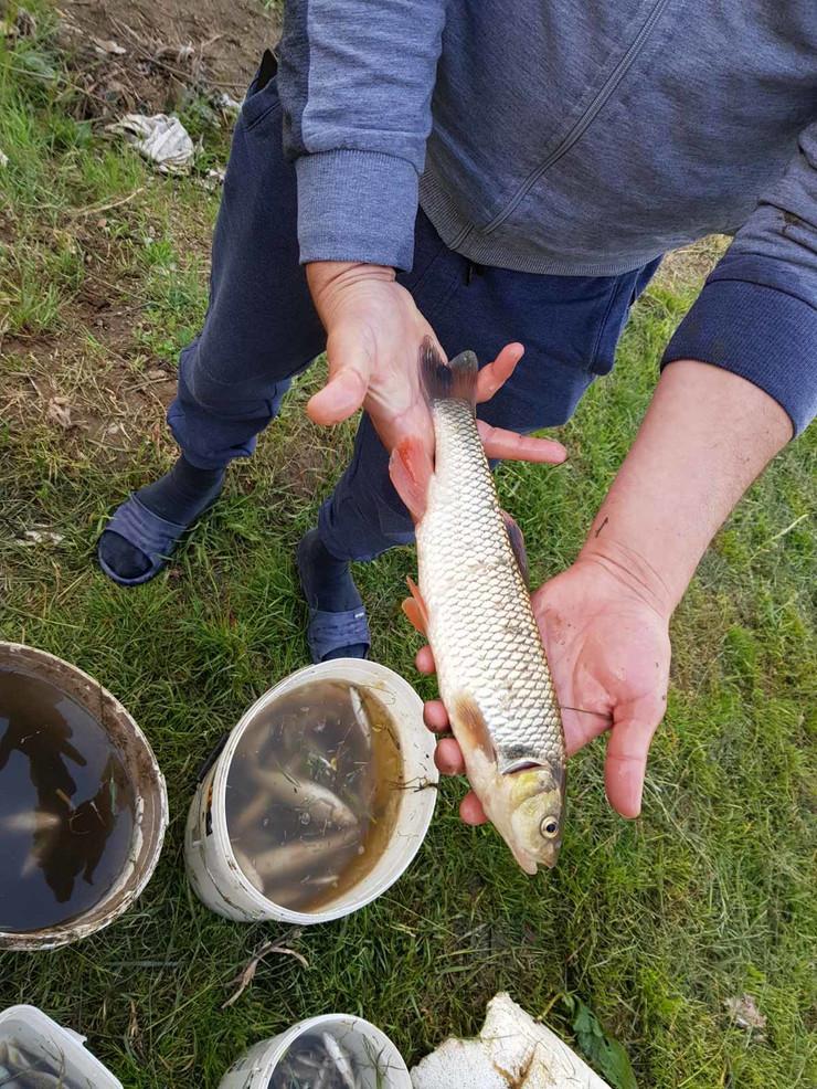 Uginulo više hiljada komada ribe u Gabrovačkoj reci