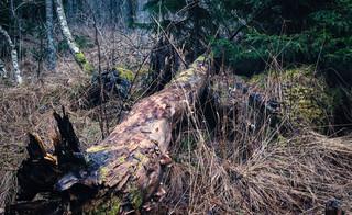 Spór o Puszczę Białowieską: Na miejscu starych drzew powstać ma leśna plantacja