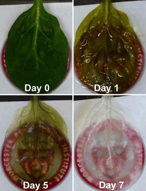 Frunzele au fost infuzate cu celule cardiace umane