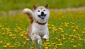A shiba inu dog. Shutterstock