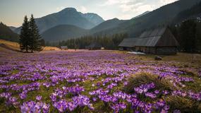 Tatrzański PN rusza z akcją edukacyjną dotyczącą krokusów