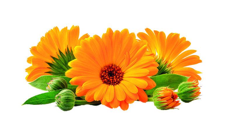 gyógynövények, amelyek miatt lefogy)