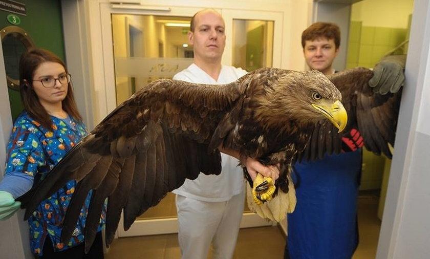 Lekarze ratują orła
