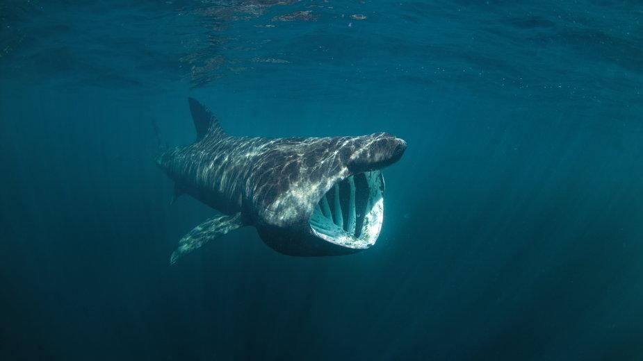 Rekin olbrzymi