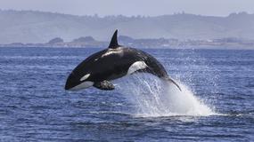 Orki polują na rekiny i zjadają ich wątroby