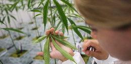 Medyczna marihuana już w aptekach! Tyle kosztuje
