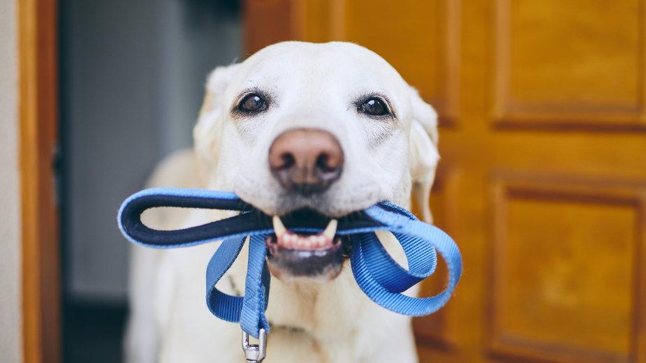 Jak nauczyć psa chodzenia na smyczy? - Chalabala/stock.adobe.com